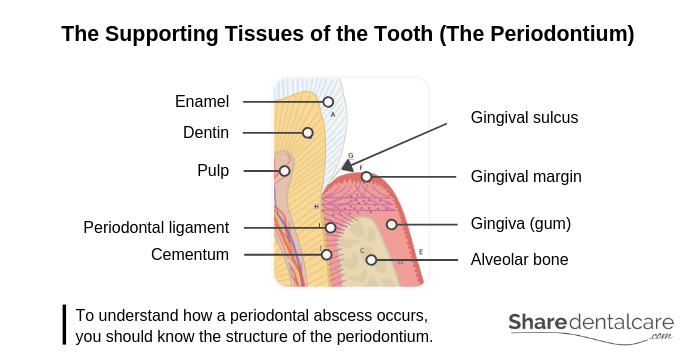 The Supporting Tissues of the Tooth (The Periodontium)
